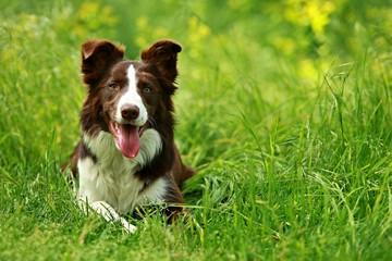 Happy brown and white border collie dog with her tongue out lying down in green grass with blurry background