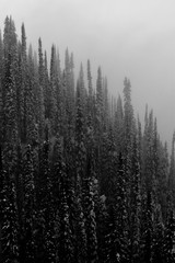 Snowing trees in the fog