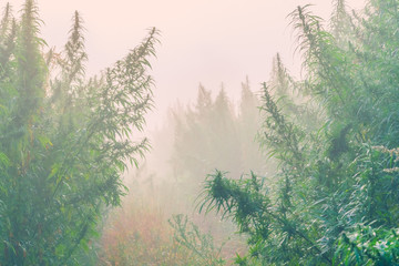 Plantation of cannabis in the fog