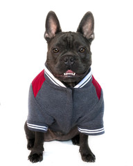 mascot type portrait, full body of a blue French bulldog dressed in college high school sports gear, on a white isolated background, front view eyes looking straight, copy space on jacket