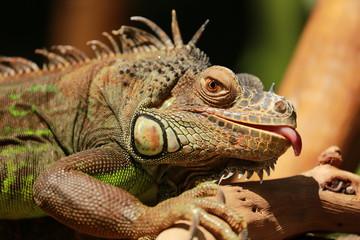 Iguanas tongue