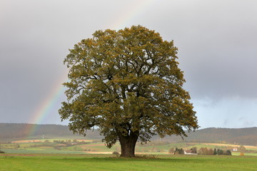 Die alte Eiche im Herbst bei Herleshausen in Hessen