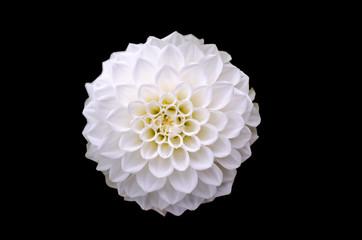 White dahlia flower detail isolated