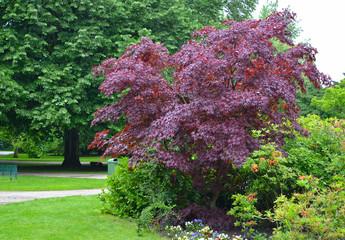 """Maple acutifoliate """"Crimson King"""" (Acer platanoides Crimson King) in the park"""