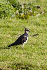 Northern Lapwing, Lapwing, Vanellus vanellus
