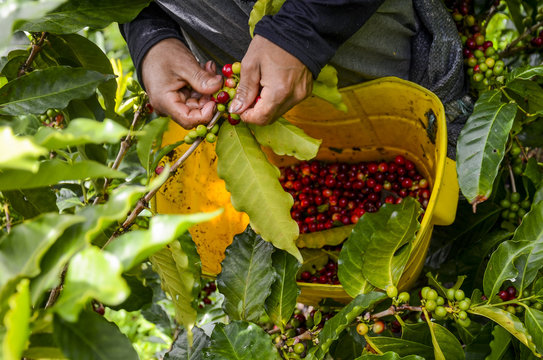 Selective harvesting coffee beans