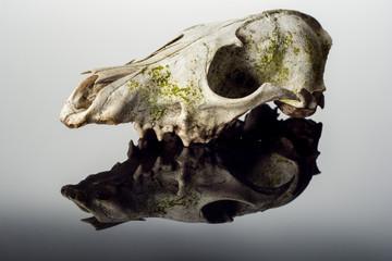 Fox skull on on dark background close up.