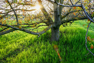 tree hazel in the background of the setting sun. bright green grass