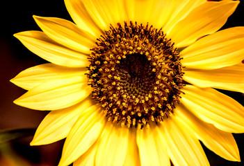 Sunflower Close-up Dark Blurry Background