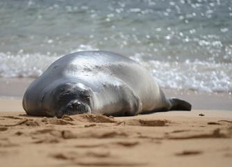 Sunbathing Seal Hawaii