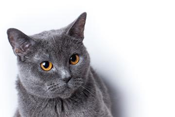 British cat close-up white background