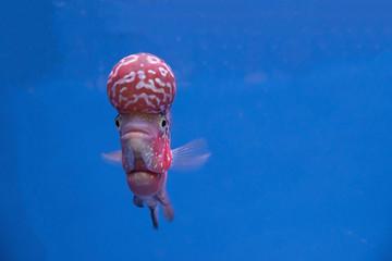 Cichlids, Thailand