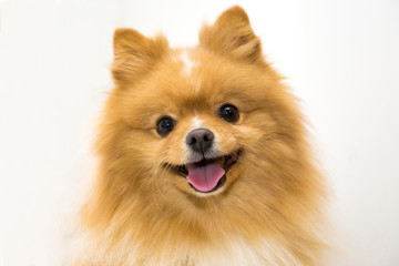 happy fluffy orange pomeranian spitz on the white background