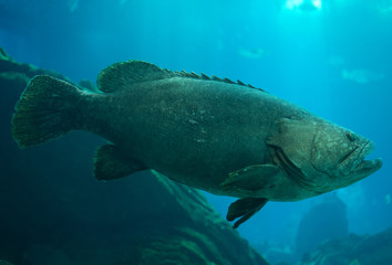 Queensland grouper swimming in the sea.