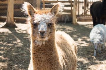 lama's face