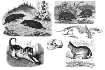Predatory mammals. Illustration.