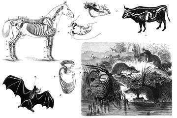 Animals anatomy old illustration.