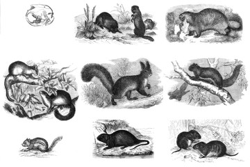 Mammals rodents. Engraving.