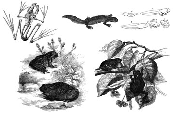 Black and white illustration of a frog.