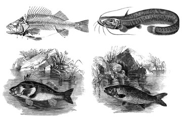 Black and white engravings of fish.