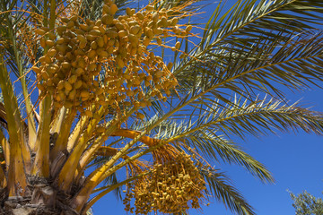 Yellow Fruit on a Palm Tree
