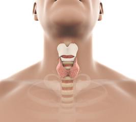 Human Thyroid Gland Anatomy Illustration