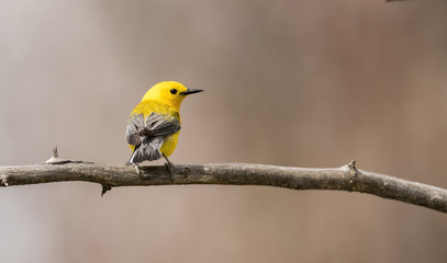 Prothonotary Warbler in Spring Migration Perched on a Branch