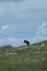A wild horse stallion watchs over his territory on Harkers Island, Shakleford Banks, North Carolina.