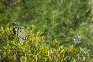 AnArgiope aurantia spider spins a web around a captured grasshopper, on Harkers Island, Shakleford Banks, North Carolina