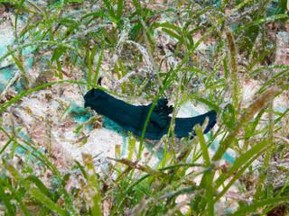Philippines. Nembrotha milleri (Milleri's nembrotha) at sandy bottom, underwater macro