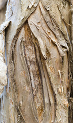Paperbark Tree Trunk