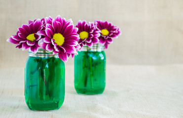 bright purple argyranthemum flowers in 2 small mason jars filled with green colored water on a tan cloth background with copy space