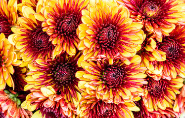 background texture full frame close up of orange, yellow and brown chrysanthemums