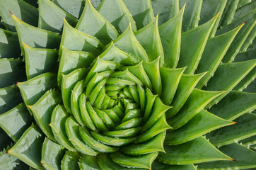 Spiral aloe vera with water drops, closeup