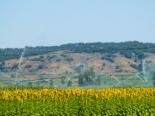 Sunflowers field on summertime on blooming