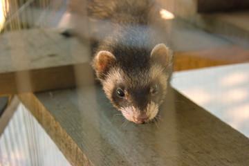 Sad ferret in the cage resting.