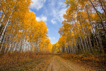 A narrow trail through a forest of autumn colored poplar trees under cloudy sky in an afternoon countryside landscape