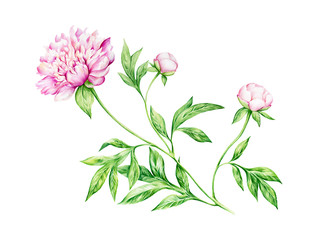 Watercolor painting of peony flowers
