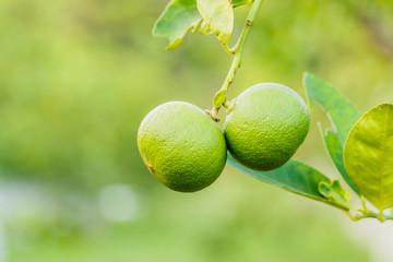 Green lemons growing on a lemon tree in garden
