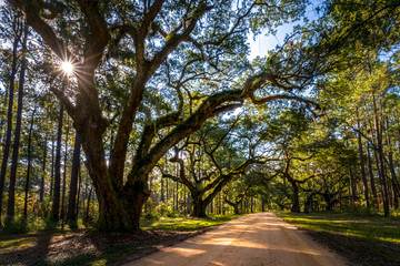 Live oak trees grow rapidly when they are young. These trees can be prevalent in the low country of the southeastern United States.