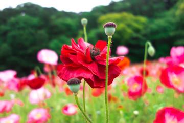 赤い八重咲きポピー