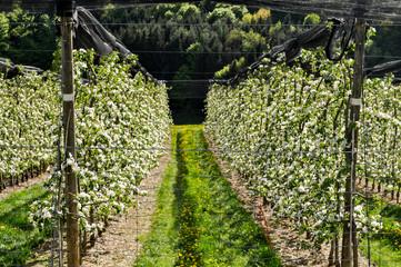 Obstplantage, blühende Apfelbäume da der steirischen Apfelstraße