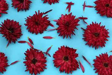 the chrysanthemum flowers nicely laid out on the blue surface