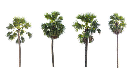 Palm tree the garden isolated on white background