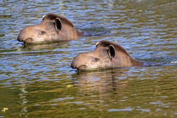Tapirs in the river
