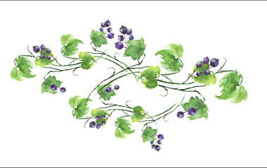 Watercolor element, detail for design. Green branch with berries of black currant, leaves on white isolated background. Watercolor illustration for your design.