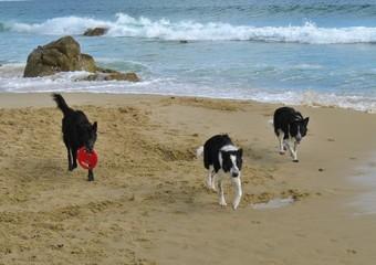 Hunde spielen am Meer 1