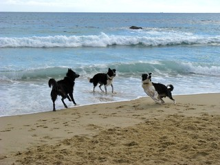 Hunde spielen am Meer 4