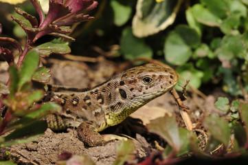 weibliche Zauneidechse (Lacerta agilis) - Sand Lizard