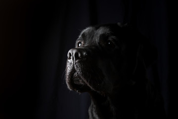 portrait of black Labrador